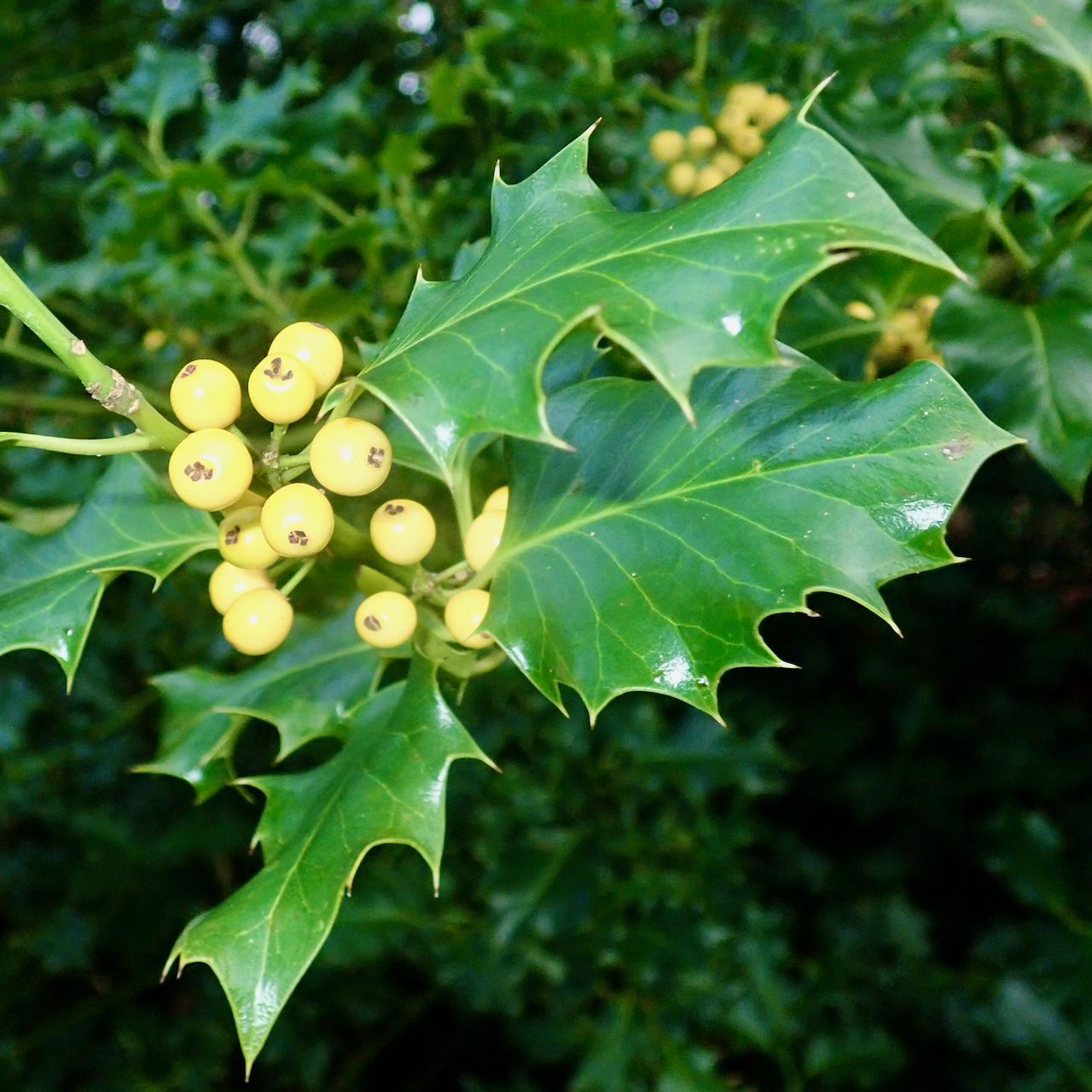 Yellow holly