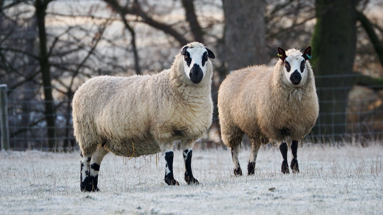 Kerry Hill Sheep, Easby
