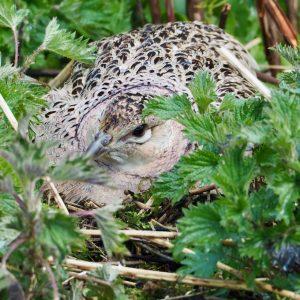 Pheasant on her nest