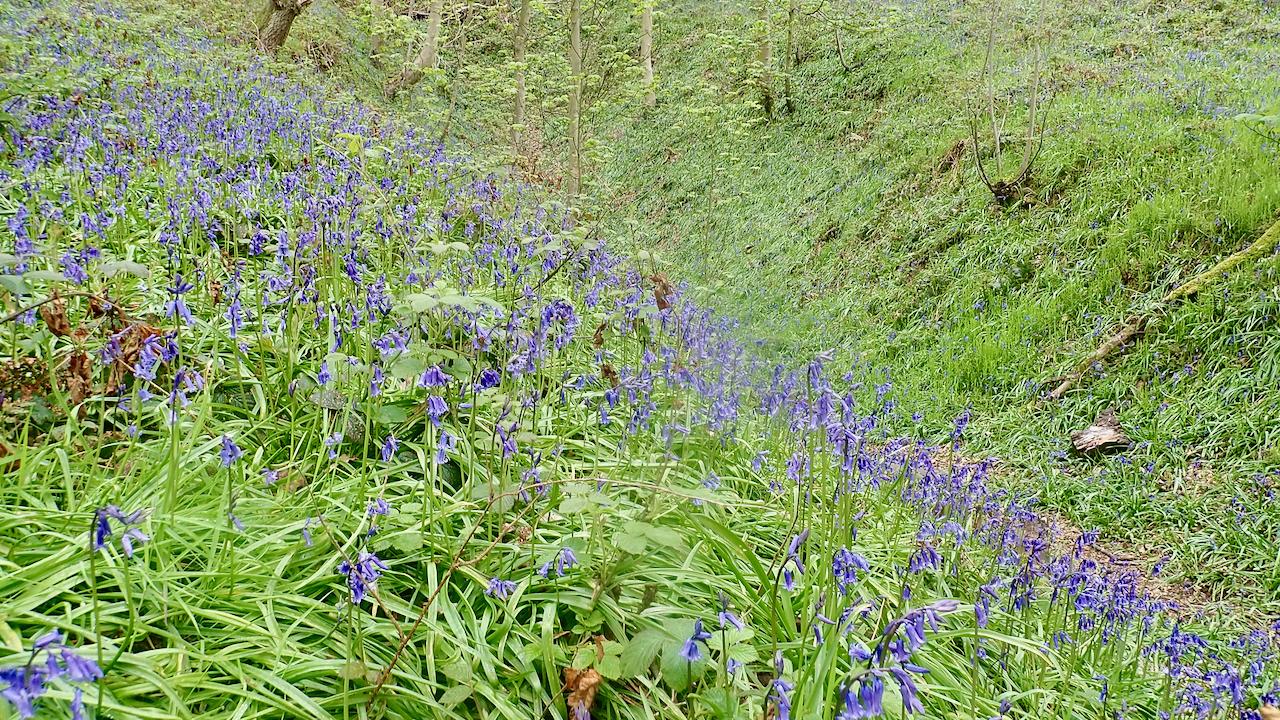 Bluebells in Nettle Hole
