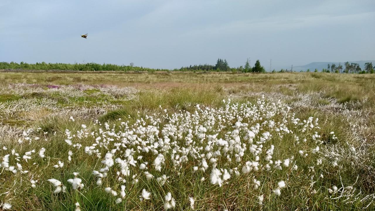Cottongrass, Gisborough Moor